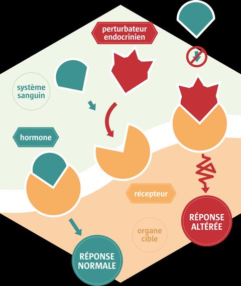 impacts perturbateurs endocriniens