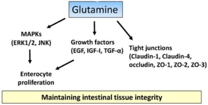 Figure 3 : rôles de la glutamine dans le maintien de l'intégrité de la paroi intestinale