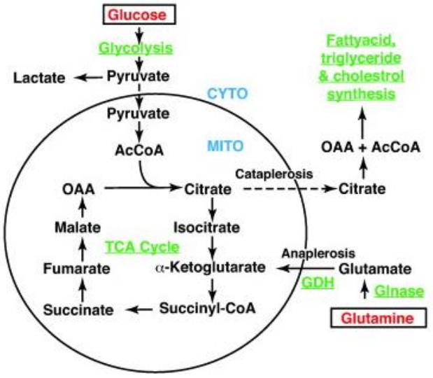 Figure 4 : cycle de Krebs alimenté par la glutamine et/ou le glucose (voie de la glutamine privilégiée chez les entérocytes)