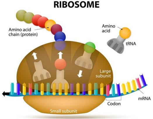 Figure 6 : traduction des codons par le pour former une protéine ribosome et assemblage des acides aminés