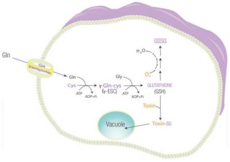 Figure 7 : mécanisme détoxifiant et antioxydant du glutathion et synthèse de ce dernier (Cys : cystéine ; Gln : glutamine; Gly : glycine)