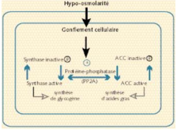 Figure 8 : influence du volume cellulaire sur la synthèse du glycogène