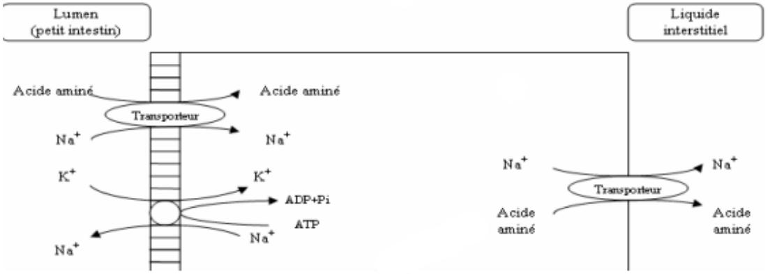 Figure 9 : Transport des acides aminés à travers la barrière intestinale