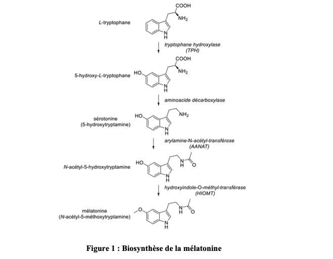 Figure 1 : Biosynthèse de la mélatonine