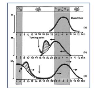 Schéma expliquant la courbe de réponse de phase après l'administration exogène de mélatonine