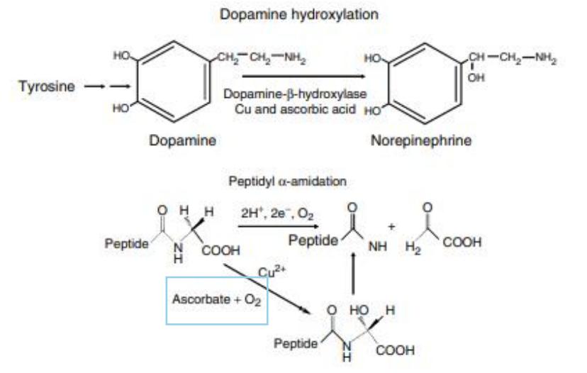 Figure 2 : participation de l'acide ascorbique à la synthèse des catécholamines