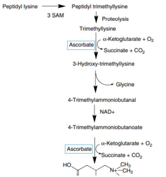Figure 3 : participation de l'acide ascorbique à la synthèse de la carnitine