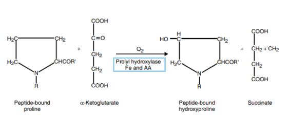 Figure 1 : participation de l'acide ascorbique à la synthèse du collagène