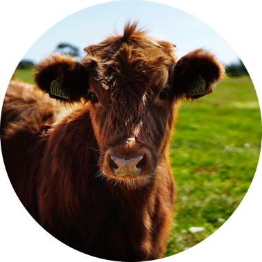 vache pâturage ghee bio
