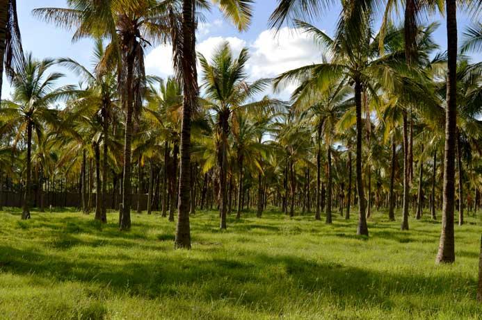 plantation cocotier bio